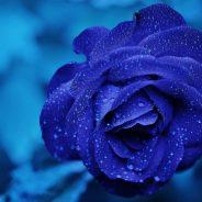 Die Fortsetzungsgeschichte einer Rose